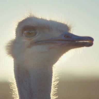 Samsung, Ostrich