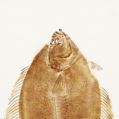 The Soy Sauce Posters - Flounder Fish